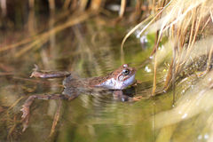 Frog in a pond Royalty Free Stock Images