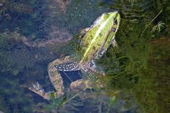 Frog in the pond Stock Photos
