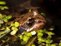 Frog in a pond Royalty Free Stock Photo