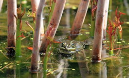 Frog in a pond Stock Photo