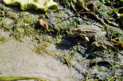 Frog in a pond close up. Stock Photos