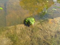 Frog in the pond close-up. Frog in the pond, transparent water royalty free stock photos