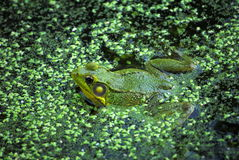 Frog in a Pond. Common frog partially submerged in a pond stock photography