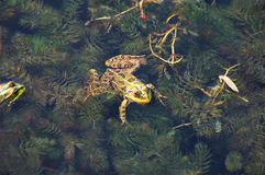 Frog in the pond. Frog floating on algae in the pond royalty free stock images