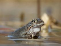 Frog in a pond in the forest. Single beauty frog portrait sitting in a pond Stock Photos