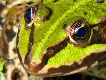Frog Pond, Frog, Amphibian, Green Stock Photography