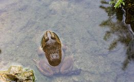Frog in pond. With water Royalty Free Stock Photo