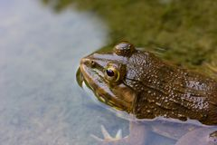 Frog in pond. In the water background Royalty Free Stock Photography