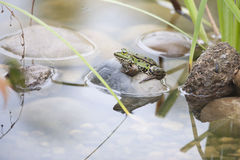 Frog in Pond. Frog in garden pond Royalty Free Stock Images