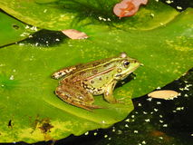 Frog in Pond. Frog in garden pond on a hot day royalty free stock image