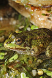 Frog in a pond. With grass Stock Image