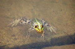 Frog in the pond. Green frog float in the pond water stock image