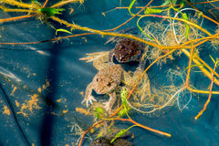 Frog in pond Stock Photo