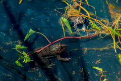 Frog in pond Royalty Free Stock Images
