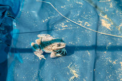 Frog in pond Royalty Free Stock Image