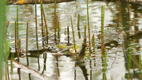 Frog in pond stock video footage