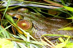 Frog In Pond Royalty Free Stock Photography