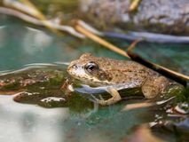 Frog. In the pond and its reflection Royalty Free Stock Photography