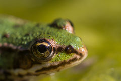 A frog in the pond Royalty Free Stock Photography