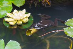 Frog in a pond with lotus leaves Royalty Free Stock Photos