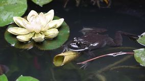 Frog in a pond with lotus leaves stock video