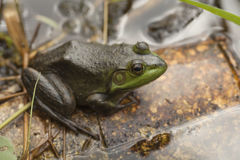 Frog in the pond. Macro of a frog in the pond Royalty Free Stock Photo