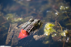 Frog in the pond , Macro Shot Stock Images