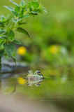 Frog in the pond royalty free stock image