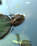 Frog in a pond with nature. Royalty Free Stock Image