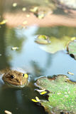 Frog in a pond with nature. Stock Photos