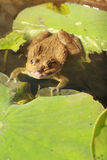Frog in a pond with nature. Royalty Free Stock Photos