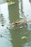 Frog in a pond with nature. Royalty Free Stock Photography