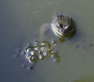 Frog in pond next to frog spawn. Frog in pond with head above water next to frog spawn stock photography