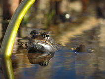 Frog in pond. stock images