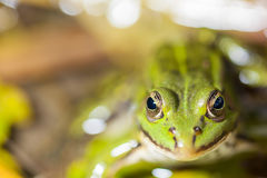Frog in the pond Stock Photography