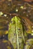 Frog Pond - Pelophylax esculentus Stock Image