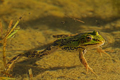 Frog in the pond 2 Royalty Free Stock Photos