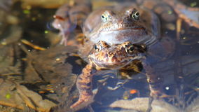 Frog in the pond stock video footage