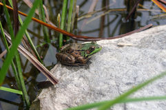 Frog by the Pond Royalty Free Stock Photo