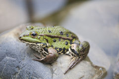Frog in Pond. Frog sitting on a stone in garden pond stock photo