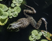 Frog in pond Royalty Free Stock Photos