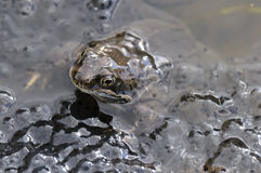 Frog in pond with spawn Royalty Free Stock Images