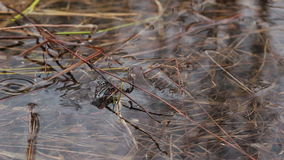 Frog in the pond. spring stock footage