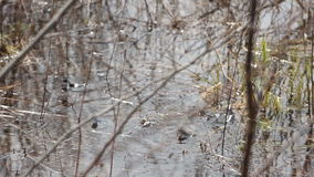 Frog in the pond. spring. Hd stock video footage