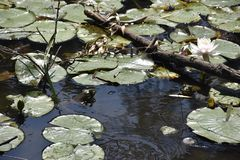 Frog in pond. Frog sticking head out of pond water Stock Image