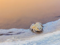 Frog in the pond. Royalty Free Stock Photography
