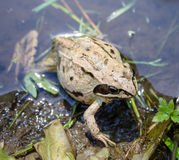 Frog in the pond in the summer Royalty Free Stock Photography