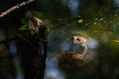 Frog in a pond with sun on its face stock photo