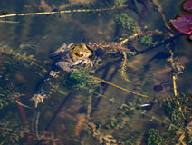 Frog in pond with tadpoles. A frog clinging to pond weed with tadpoles swimming around Stock Image