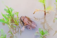 Frog in pond water Stock Photos